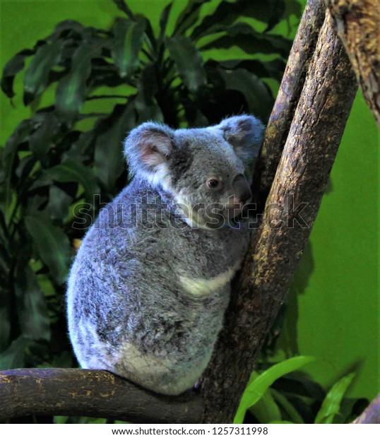 Cute Koala Bear resting in a tree