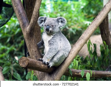 Cute koala bear sitting on the branch