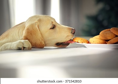 Cute Labrador dog eating tasty cookies on kitchen table, closeup