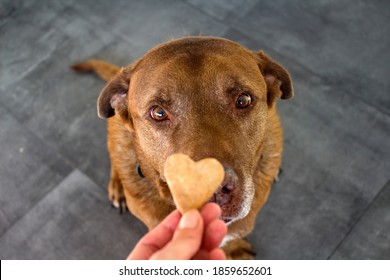 Cute Labrador dog getting heart shaped cookie. Dog's treats close up photo.  The owner gives his dog training award.