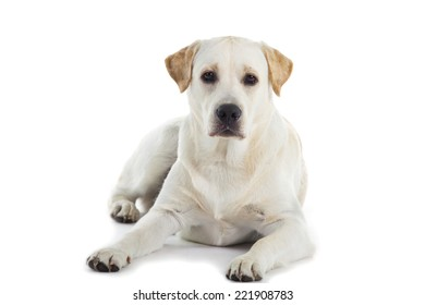 cute Labrador dog isolated over white background