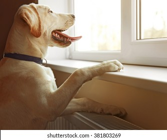 Cute Labrador dog looking out window inside the house
