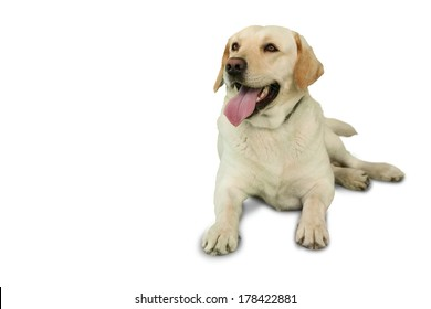 Cute labrador dog lying on floor on white background