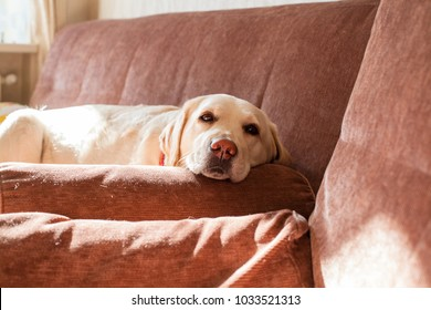 Cute labrador dog on the couch
