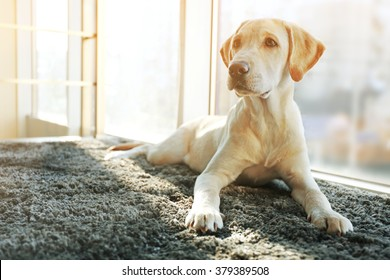 Cute Labrador dog on gray carpet, closeup