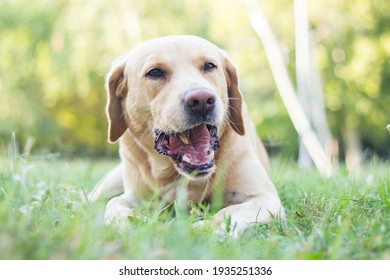 Cute labrador dog playing with a stick