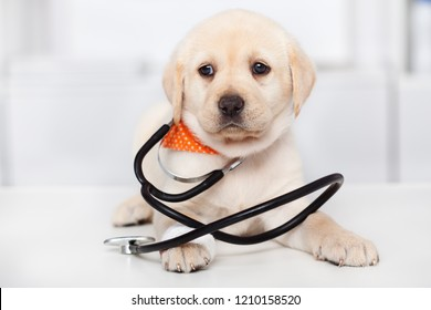 Cute labrador dog puppy at the veterinary doctor office - wearing a stethoscope, closeup