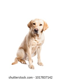 Cute labrador dog sitting in studio isolated on white looking into the camera