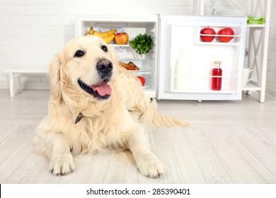 Cute Labrador near fridge in kitchen