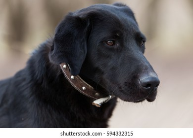 Cute labrador puppie