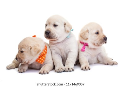 Cute labrador puppies with colorful scarves on white background scouting their surroundings