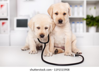 Cute labrador puppies with stethoscope at the veterinary doctor office - leaning on each other for support