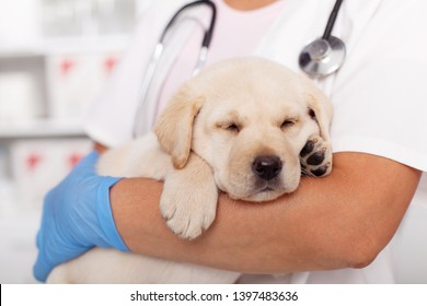 Cute labrador puppy dog asleep in the arms of veterinary healthcare professional - close up