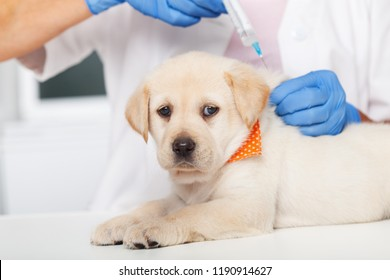 Cute labrador puppy dog getting a vaccine at the veterinary doctor - lying on the examination table