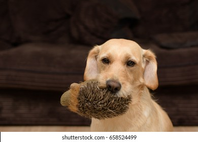 cute Labrador puppy dog holding a toy hedgehog in her mouth.