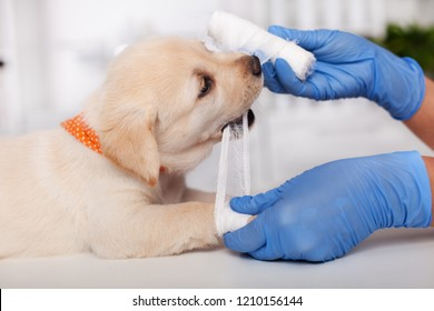 Cute labrador puppy dog playing with veterinary care professional - biting the bandage strip, closeup