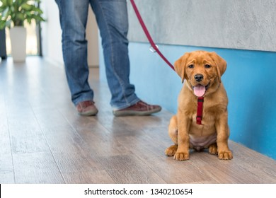 Cute Labrador puppy with his owner on a leash at the reception of a modern veterinary practice