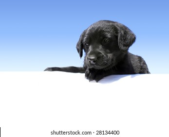 Cute Labrador puppy looking down over an edge with blue gradient background