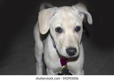 Cute labrador Retriever dog