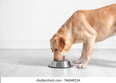 Cute Labrador Retriever eating from bowl at home