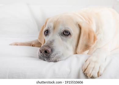 Cute Labrador Retriever on the bed