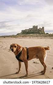 Cute Labrador retriever on Boulmer Beach on the Northumberland coast, England, UK