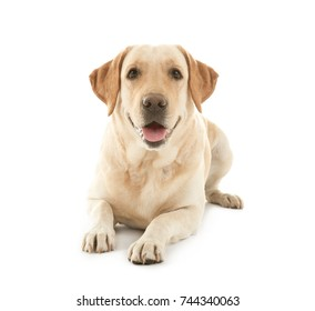 Cute Labrador Retriever on white background