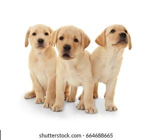 Cute labrador retriever puppies on white background