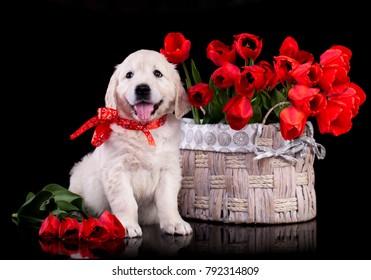 Cute labrador retriever puppy and bouquet of flowers