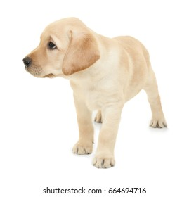 Cute labrador retriever puppy on white background