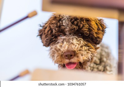 Cute Lagotto Romagnolo dog playing with stuffed toy