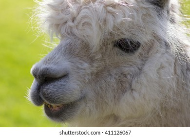 Cute lama, closeup