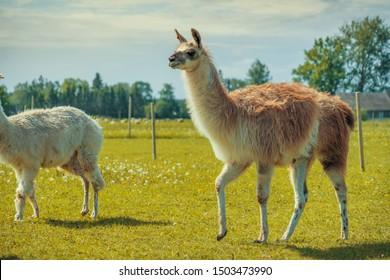 Cute lama in the farm