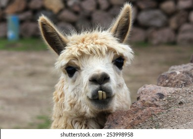 Cute lama needs a dentist, Chile