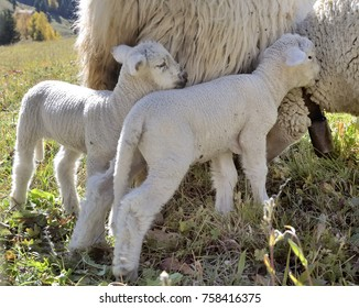 cute lamb against ewe in a meadow