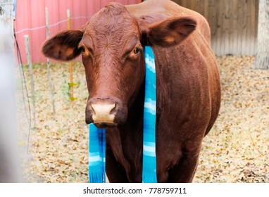 Cute large Santa Gertrudis cow wearing a scarf in a rural country pasture.  Western agriculture beef farm shows animal as pet.
