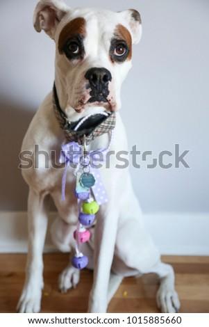 Cute Large White Boxer Dog Dressed Stock Photo Edit Now 1015885660