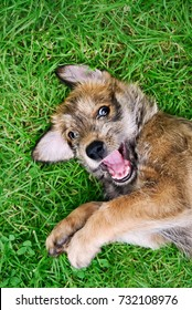Cute laughing Berger Picard dog puppy, a rare French herding breed.