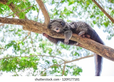 Cute lazy binturong or bear cat lying on the tree branch in the zoo