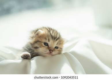 Cute lazy persian kitten wake up from sleep on white blanket in home.