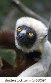 Cute Lemur (Verreaux's sifaka)