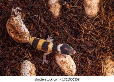 Cute leopard gecko hatching of egg. Little lizard (Eublepharis Macularius).