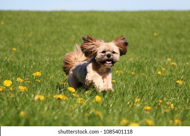 cute lhasa apso is running on a field with dandelions