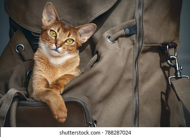 "Cute light brown cat sitting in open backpacker and probably saying ""I`m going to travel with you! Don`t leave me alone!"" The conceptual photo. The problem of longing for persons you love. Fidelity."