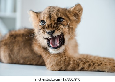 cute lion cub growling while lying on table in veterinary clinic