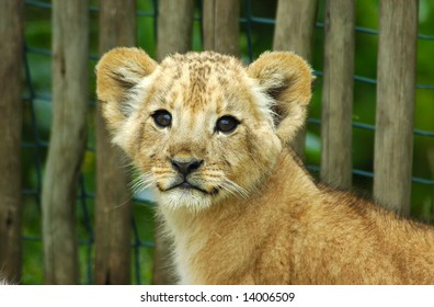A cute lion cub head portrait watching in a game park in South Africa