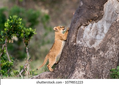 Cute lion cub trying to climb a tree in Masai Mara Game Reserve, Kenya