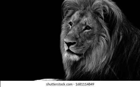 Cute Lion Sitting And Looking Up
