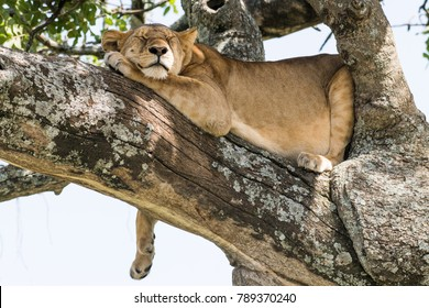 Cute lion sleeping on a tree with claw hanging