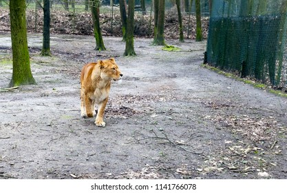 Cute lioness cub standing on a fallen tree. Lioness in the nature habitat. Wildlife scene with danger animal.  Dry trees with beautiful lioness,